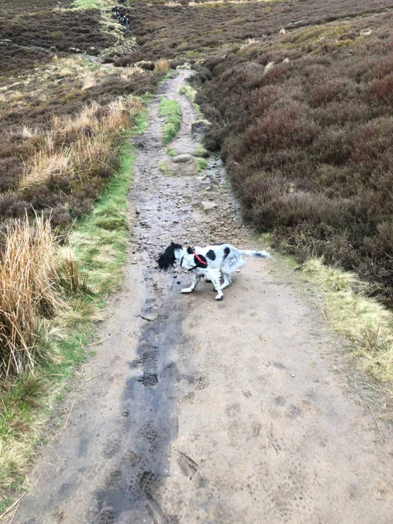 Aggie-the-spaniel-running-from-Edale-to-Win-Hill